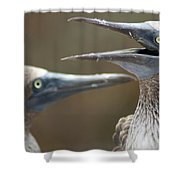 Blue-footed Boobies Shower Curtain
