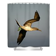 Blue-footed Booby, Sula Nebouxii, Santa Shower Curtain