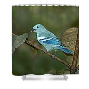 Blue-gray Tanager Shower Curtain