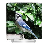 Blue Jay 1 Shower Curtain