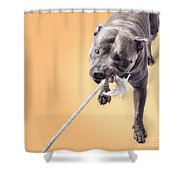 Blue Staffie Having A Tug Of War Shower Curtain