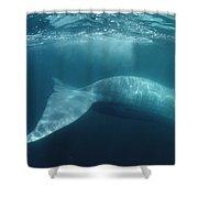 Blue Whale  Sea Of Cortez Mexico Shower Curtain