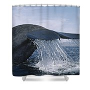 Blue Whale Tail Sea Of Cortez Mexico Shower Curtain