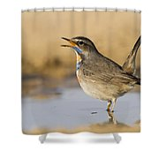 Bluethroat Luscinia Svecica Shower Curtain