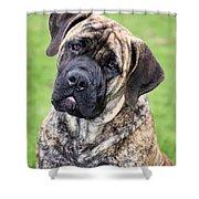 Boerboel Dog Shower Curtain