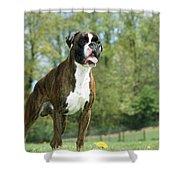Boxer Dog Shower Curtain by Johan De Meester