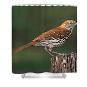 Brown Thrasher Shower Curtain
