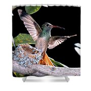 Buff-bellied Hummingbird At Nest Shower Curtain