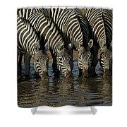 Burchells Zebra Equus Burchellii Herd Shower Curtain