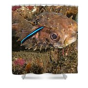 Burrfish And Cleaner Goby Shower Curtain