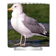 California Gull Shower Curtain