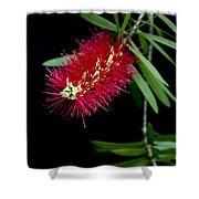Callistemon Citrinus - Crimson Bottlebrush Hawaii Shower Curtain