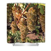 Chardonnay Grapes In Vineyard, Carneros Shower Curtain