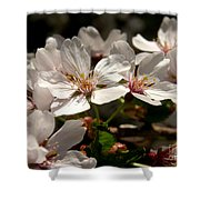 Cherry Blossom - 3 Shower Curtain