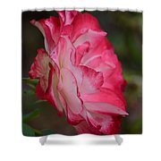 Cherry Cream Rose Shower Curtain
