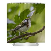 Chesnutsided Warbler Shower Curtain
