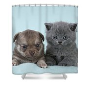 Chihuahua Puppy And British Shorthair Shower Curtain