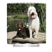 Chocolate And Cream Labradoodles Shower Curtain