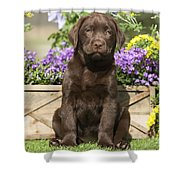 Chocolate Labrador Puppy Shower Curtain