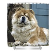Chow Chow Dog Shower Curtain