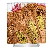 Ciliated Epithelium Of Oviduct, Sem Shower Curtain