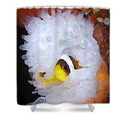 Clarks Anemonefish In White Anemone Shower Curtain by Steve Jones