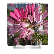Cleome Named Cherry Queen Shower Curtain