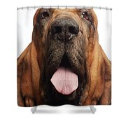 Close Up Portrait Of A Bloodhound Shower Curtain