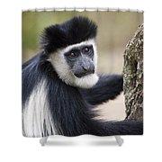 Colobus Monkey Shower Curtain