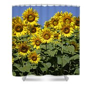 Common Sunflower Flowers Japan Shower Curtain