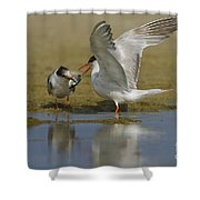 Common Tern Sterna Hirundo Shower Curtain by Eyal Bartov