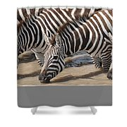 Common Zebras Drinking Water Shower Curtain
