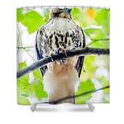 Coopers Hawk Perched On Tree Watching For Small Prey Shower Curtain