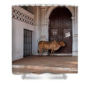 Cow At Church At Colva Shower Curtain