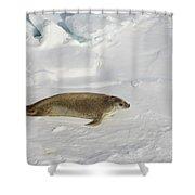 Crabeater Seal, Antarctica Shower Curtain