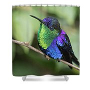 Crowned Woodnymph Hummingbird Male Shower Curtain