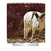 Dall Sheep Shower Curtain