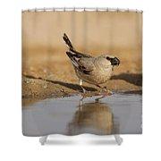 Desert Finch Carduelis Obsoleta Shower Curtain
