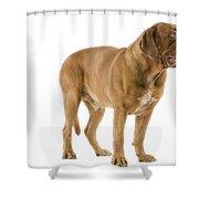 Dogue De Bordeaux Shower Curtain