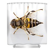 Eristalinus Taeniops Hoverfly Isolated Oin White Background Shower Curtain
