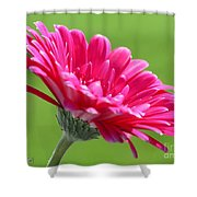 Gerbera Daisy Named Raspberry Picobello Shower Curtain