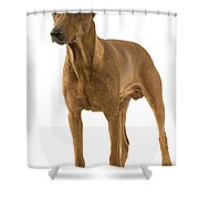German Or Standard Pinscher Shower Curtain