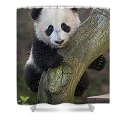 Giant Panda Cub In Tree Shower Curtain