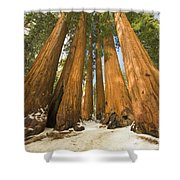 Giant Sequoias Sequoia N P Shower Curtain by Yva Momatiuk John Eastcott