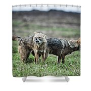 Golden Jackal Canis Aureus Shower Curtain