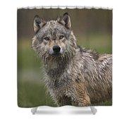 Gray Wolf  North America Shower Curtain