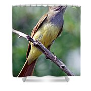 Great Crested Flycatcher With Captured Shower Curtain