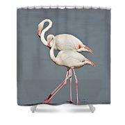 Greater Flamingos Phoenicopterus Roseus Shower Curtain