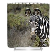 Grevys Zebra Stallion Shower Curtain