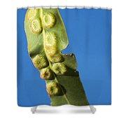 Gum Leaf Galls Shower Curtain